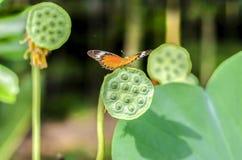 Mariposa en la semilla del loto foto de archivo