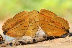 Mariposa en la tierra, agua de la bebida Imagen de archivo