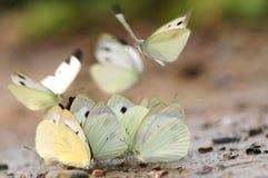 Mariposa en la tierra, agua de la bebida Fotografía de archivo libre de regalías