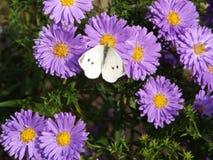 Mariposa en las flores Fotos de archivo libres de regalías