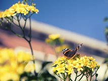 Mariposa en las flores amarillas Atalanta de Vanesa Fotos de archivo