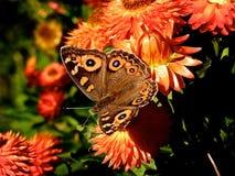 Mariposa en las flores anaranjadas Foto de archivo libre de regalías