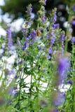 Mariposa en las flores azules del Hyssopus fotografía de archivo libre de regalías