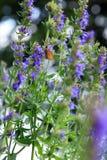 Mariposa en las flores azules del Hyssopus Foto de archivo