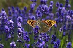 Mariposa en las flores de la lavanda Fotos de archivo libres de regalías