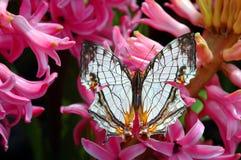 Mariposa en las flores de los jacintos imagenes de archivo