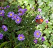Mariposa en las flores del aster Fotos de archivo