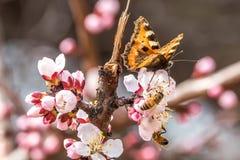 Mariposa en las flores hermosas del albaricoque Foto de archivo