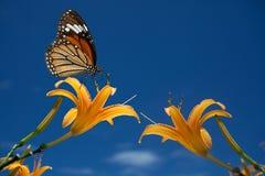Mariposa en las flores (lirios de día) Fotografía de archivo