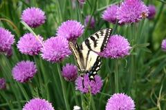 Mariposa en las flores púrpuras Fotografía de archivo