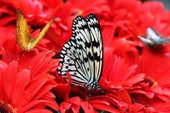 Mariposa en las flores rojas Fotografía de archivo libre de regalías