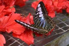 Mariposa en las flores rojas Imagen de archivo libre de regalías