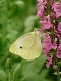 Mariposa en las flores rosadas Foto de archivo