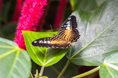 Mariposa en las hojas Fotos de archivo libres de regalías