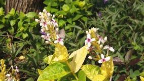 Mariposa en las pequeñas flores blancas cerca del cuadrado de ciudad de Surabaya almacen de video