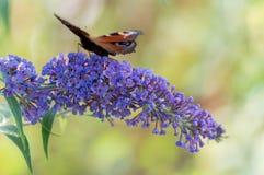 Mariposa en lila Imagen de archivo libre de regalías