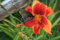Mariposa en lirio de día foto de archivo
