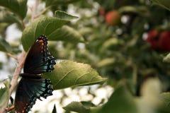 Mariposa en manzano Imagenes de archivo