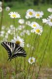 Mariposa en margarita Imagen de archivo