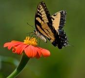Mariposa en margarita Fotografía de archivo