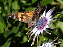 Mariposa en margarita Fotos de archivo libres de regalías