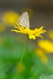 Mariposa en margarita amarilla Imagen de archivo libre de regalías