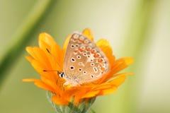 Mariposa en naranja Foto de archivo libre de regalías
