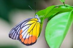 Mariposa en naturaleza de la mañana Imagen de archivo libre de regalías