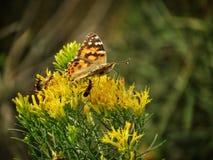 Mariposa en otoño temprano en Wildflower de la pradera fotos de archivo libres de regalías