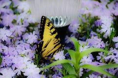 Mariposa en polemonio Foto de archivo libre de regalías