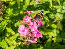 Mariposa en polemonio de la flor imagen de archivo libre de regalías