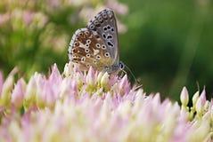 Mariposa en sedum Imagen de archivo libre de regalías