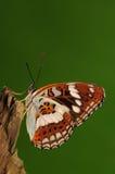 Mariposa en sydyi del Limenitis del árbol Imagen de archivo libre de regalías