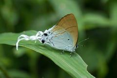 Mariposa en Tailandia Fotografía de archivo libre de regalías