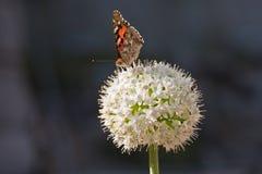 Mariposa en un allium blanco imágenes de archivo libres de regalías