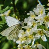 Mariposa en un arbusto de lila Imagenes de archivo