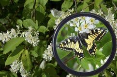 Mariposa en un arbusto debajo de una lupa 1 Fotos de archivo libres de regalías