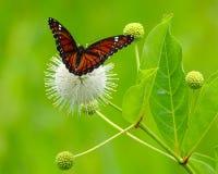 Mariposa en un Buttonbush blanco imagen de archivo libre de regalías