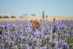 Mariposa en un campo de la lavanda Fotografía de archivo