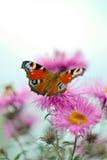 Mariposa en un cierre de la flor para arriba Foto de archivo