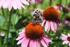 Mariposa en un coneflower 1 Fotos de archivo