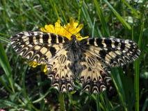 Mariposa en un diente de león Adorno meridional de la mariposa Polyxena de Zerynthia Foto de archivo libre de regalías