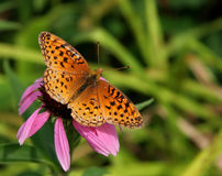 Mariposa en un Echinacea foto de archivo