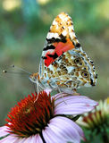 Mariposa en un echinacea de la flor, flores bebiendo el néctar foto de archivo