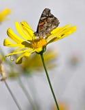Mariposa en un girasol colorido Fotografía de archivo