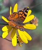 Mariposa en un girasol colorido Imagenes de archivo