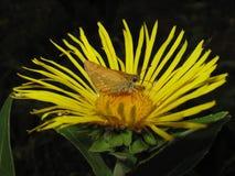 Mariposa en un néctar de consumición de la flor Fotos de archivo libres de regalías