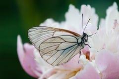 Mariposa en un peony Fotos de archivo libres de regalías