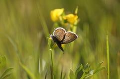 Mariposa en un prado del verano Fotografía de archivo