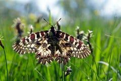 Mariposa en un prado soleado Mariposas de la primavera Adorno meridional Imagenes de archivo